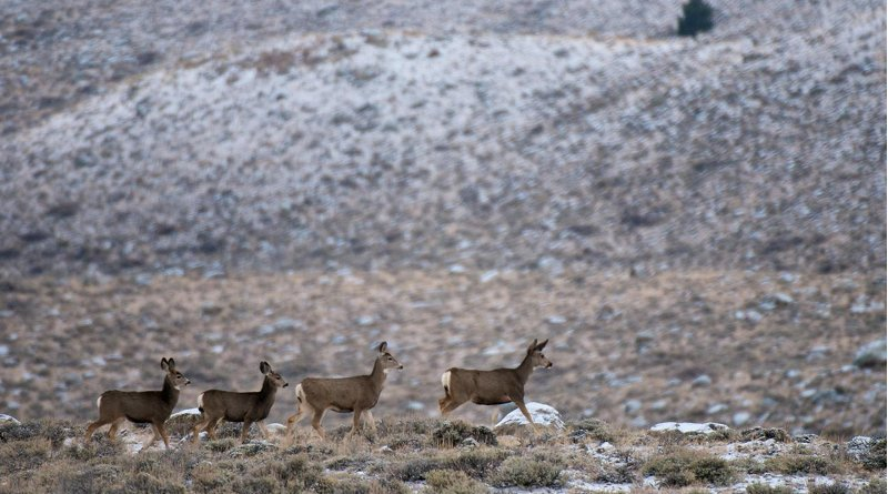 Mule deer move across a sagebrush-covered basin in western Wyoming. New University of Wyoming research shows that deer navigate in spring and fall mostly by using their knowledge of past migration routes and seasonal ranges. Credit Joe Riis