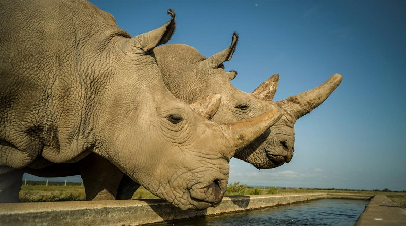 Najin (left) and Fatu (right) are the last two northern white rhinos on the planet. This photo was taken on Ol Pejeta Conservancy in their 700-acre enclosure. Credit Ami Vitale