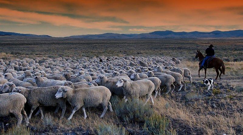 Farmer grazes sheep in Idaho