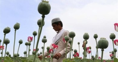 Cultivating poppies in Afghanistan for opium. Photo Credit: Tasnim News Agency.