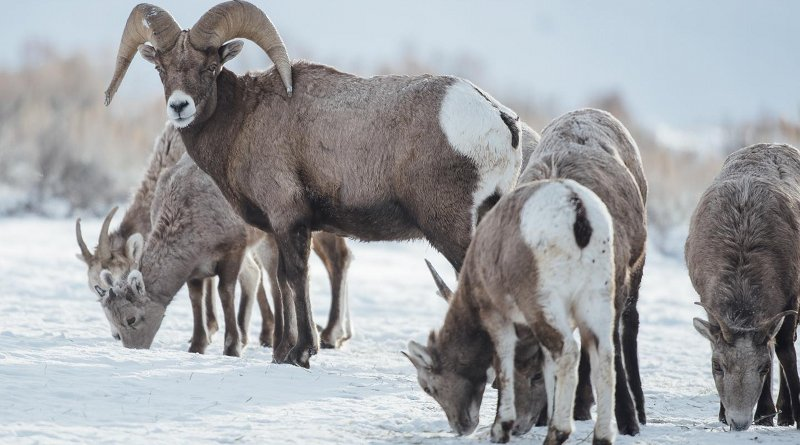 A big horn ram looks back as yearling big horn sheep eat hay off a snow field while Montana State University students and faculty in the Department of Ecology, volunteer with Montana Fish, Wildlife and Parks officials and biologists in capturing and relocating big horn sheep on Saturday, Jan. 20, 2018, in the Quake Lake area, south of Ennis, as part of MSU research on repopulating historic big horn sheep grounds and landscape. Credit MSU Photo by Adrian Sanchez-Gonzalez