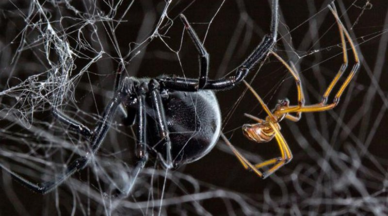A male and female black widow spider. Credit Sean McCann