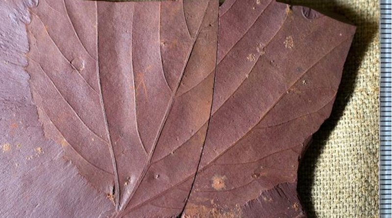 This fossilized tree leaf, are the first of their kind to have been found in the area. Alexandre Demers-Potvin, used the samples he collected to establish that Eastern Canada would have had a warm temperate and fully humid climate during the middle of Cretaceous period. Credit Alexandre Demers-Potvin