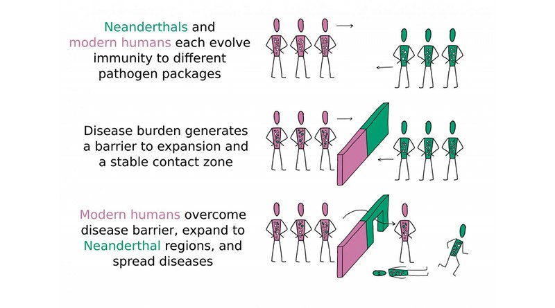This is an illustration of modern humans overcoming disease burden before Neanderthals. Credit Vivian Chen Wong