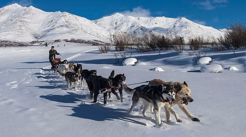 A sled dog team. Photo Credit: Denali National Park and Preserve - Corrie Mile 9 Landscape - Jacob W. Frank, Wikipedia Commons