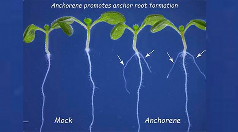 A newly identified metabolite that stimulates anchor root growth in Arabidopsis plants may have potential applications in promoting plant growth in nutrient-deficient soils. The two plants treated with anchorene (right) show anchor root formation while untreated plants do not show anchor root formation.© 2019 KAUST