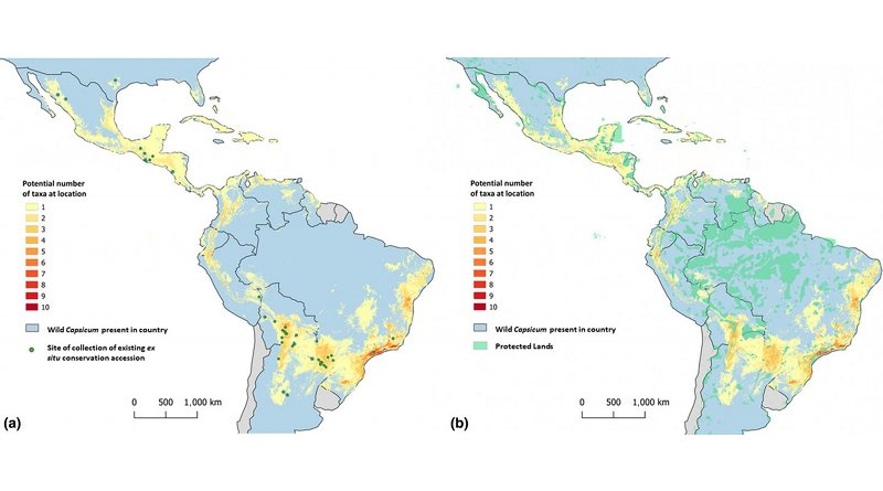 These maps show the distribution of wild chile pepper taxa across the Americas. Green dots on the left map shows where wild species have been collected and stored in gene banks. The map on the right shows where species occur in comparison to protected areas. CREDIT Khoury et al.