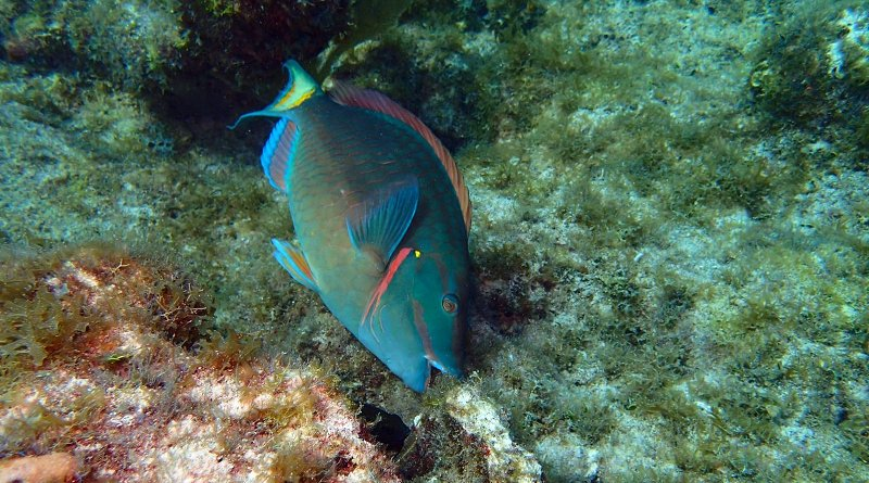 A stoplight parrotfish feeding on algae. New research shows that selective fishing of large parrotfish can disrupt the balance between corals and algae in embattled Caribbean reefs. CREDIT Andrew Shantz, Penn State