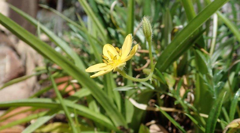 Hypoxis angustifolia growth habit. CREDIT Prof. Lyn Wadley/Wits University