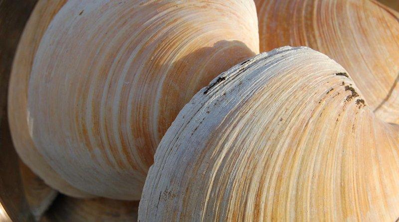 Quahog clams CREDIT Paul Butler