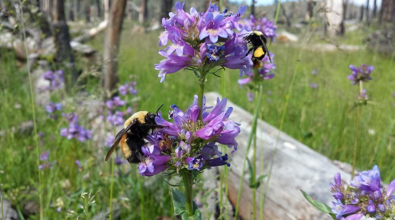 A Vosnesensky bumble bee (Bombus vosnesenskii) and a Nevada bumble bee (Bombus nevadensis) feed on Rydberg's penstamon (Penstamon rydbergii) flowers in the Plumas National Forest. CREDIT Travis DuBridge, The Institute for Bird Populations