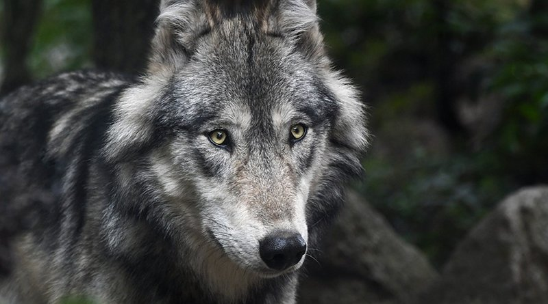 grey gray wolf wolves