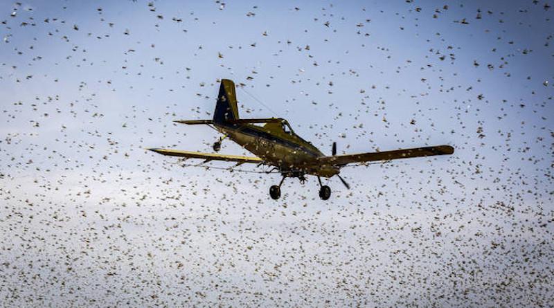 Desert Locusts in Kenya. Courtesy of FAO.
