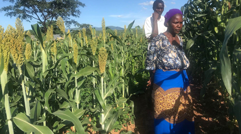 As a result of their involvement in the InnovAfrica project, several smallholders are experiencing higher yields. Photo: Udaya Sekhar Nagothu.