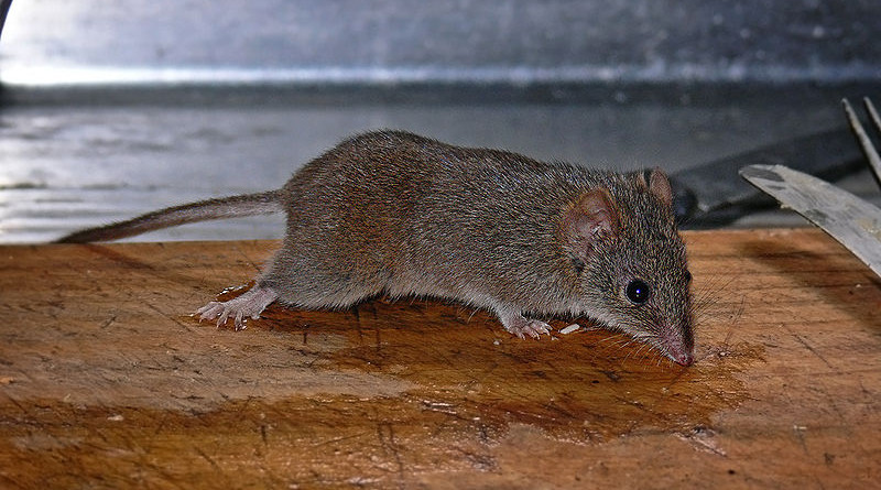 A yellow-footed antechinus. Photo Credit: Benjamint444, Wikipedia Commons