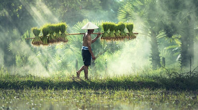 malaysia Agriculture Asia Cambodia Grain Cultivate