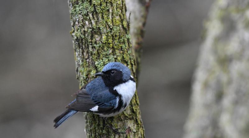 A Black-throated Blue Warbler. CREDIT: Kyle Horton