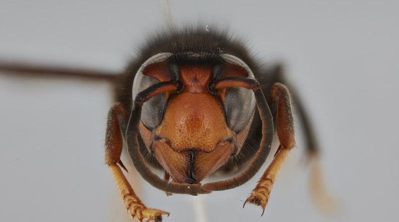 The specimen of Vespa velutina collected in Hamburg, frontal view. CREDIT Mr. Martin Husemann