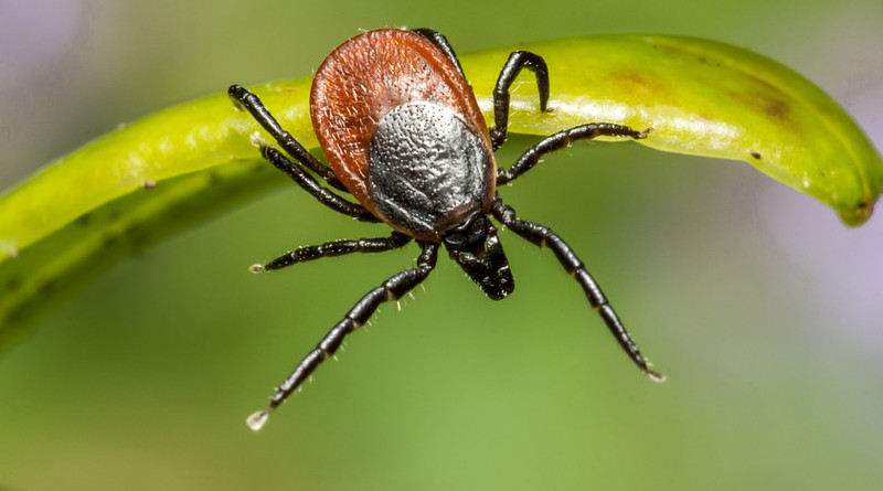 Ixodes Ricinus Castor Bean Tick Tick Lyme Disease Danger