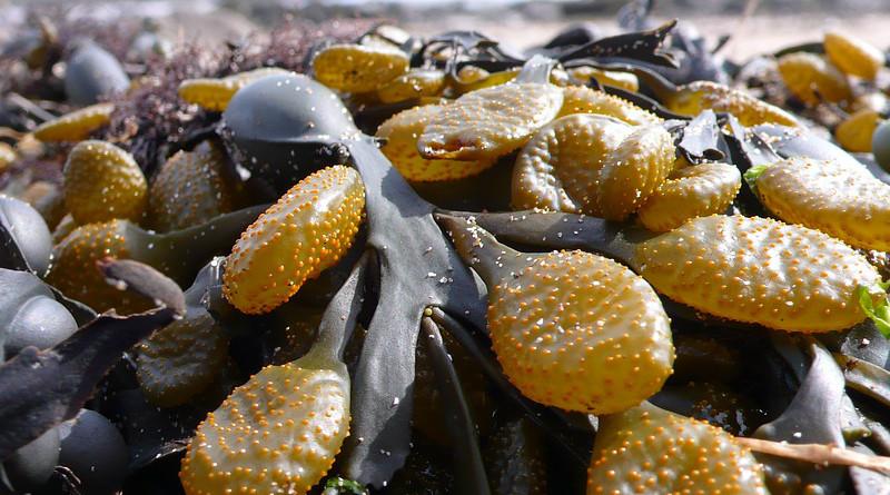 Kelp Seaweed Sea Beach Coast