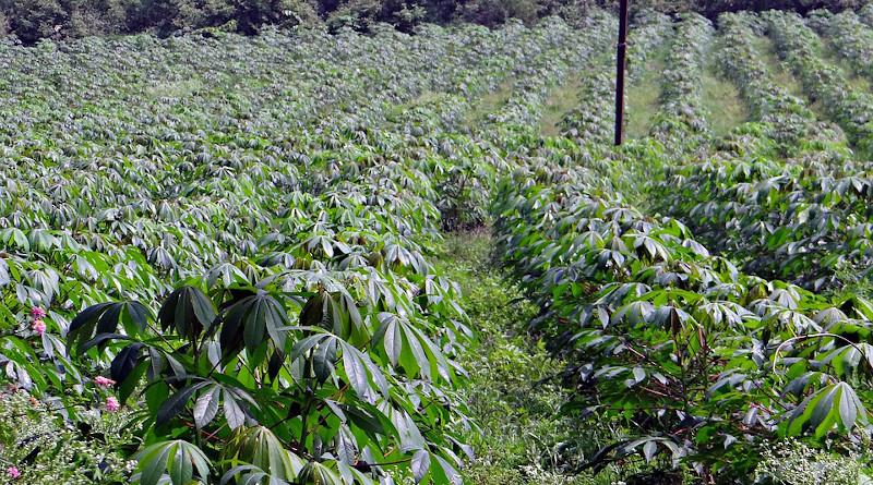 Cassava Manihot Esculenta Crop Plantation India