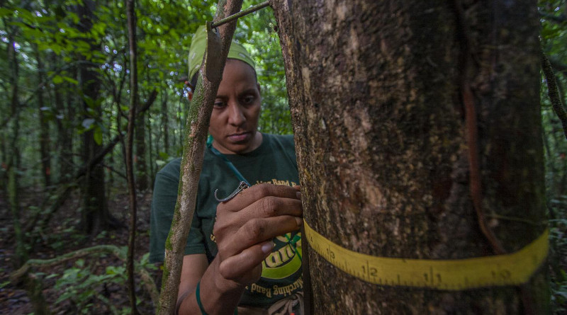 Since 1982, more than 200,000 trees are measured every five years on Barro Colorado Island in Panama. CREDIT Christian Ziegler