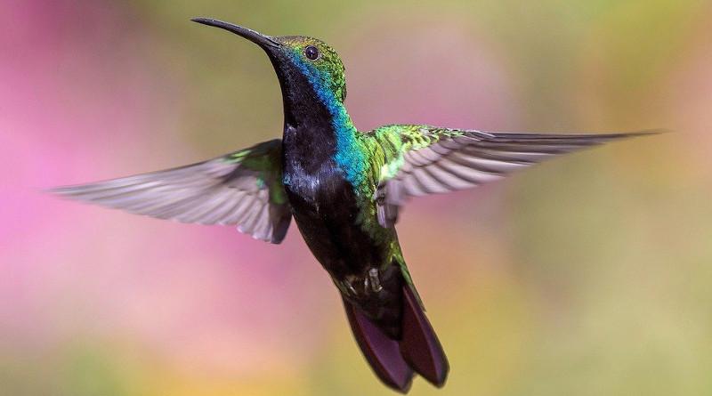 Hummingbird Bird Flight Avian Feathers Fly