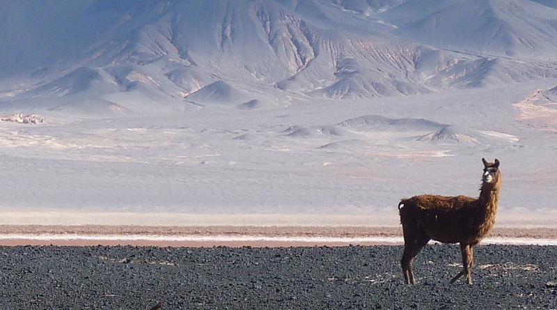Llama Vicuña Alpaca Dessert Animal Dry Sand