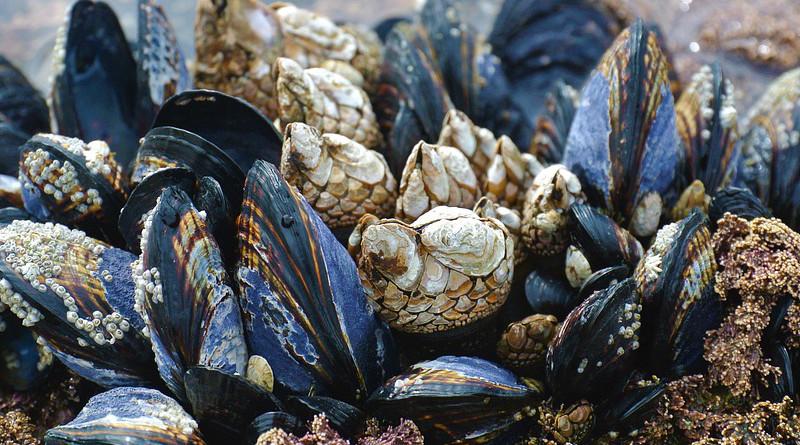 Mussels Ocean Beach West Coast Vancouver Island