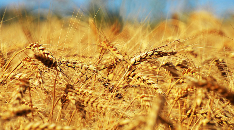 Grain Barley Cereal Harvest Maturation Growth