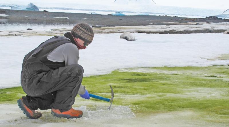 Dr. Matt Davey sampling snow algae at Lagoon Island, Antarctica. CREDIT: Sarah Vincent