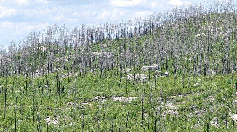 Trees Death Life After Death After Forest Fire