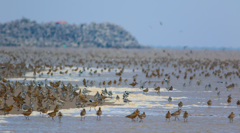 Princeton researchers may have solved the long-standing puzzle of why migratory shorebirds around the world are plummeting several times faster than coastal ecosystems are being developed. They discovered that shorebirds overwhelmingly rely on the portion of tidal zones closest to dry land for food and rest as they migrate, which are the locations most often lost to development. The findings stress the need for integrating upper tidal flats into conservation plans focused on migratory shorebirds. CREDIT: (Photo by Tong Mu, Department of Ecology and Evolutionary Biology)