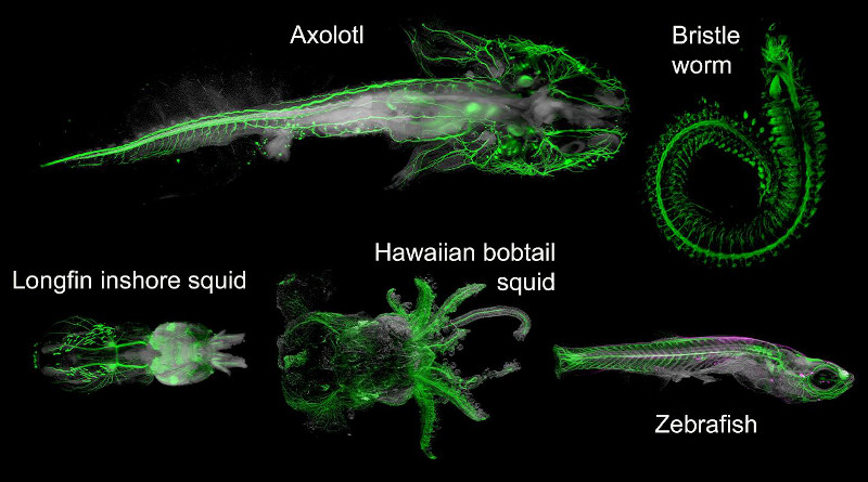 Light-sheet imges of different DEEP-Clear processed animals labelled with neurosystem specific markers. CREDIT: TU Wien / Max Perutz Labs