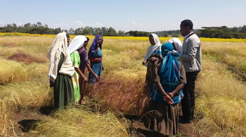 Teff farmers in a field Ethiopia. CREDIT: Aemiro Wodleyohannes
