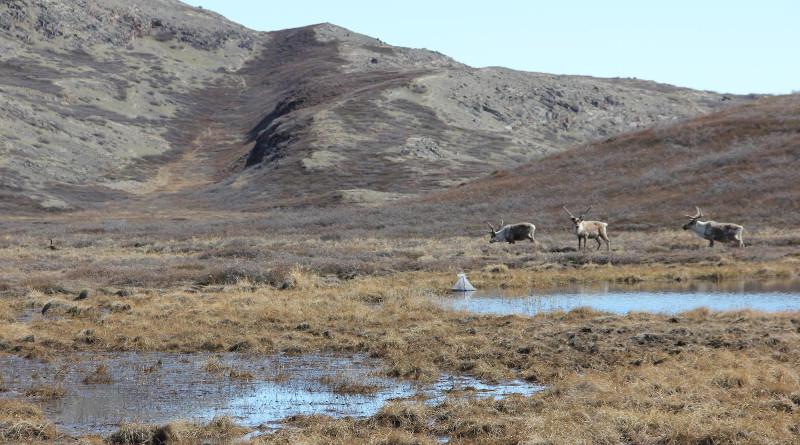 Caribou grazing on vegetation near an Arctic mosquito pond in Kangerlussuaq, Greenland. CREDIT: Photo by Melissa DeSiervo.