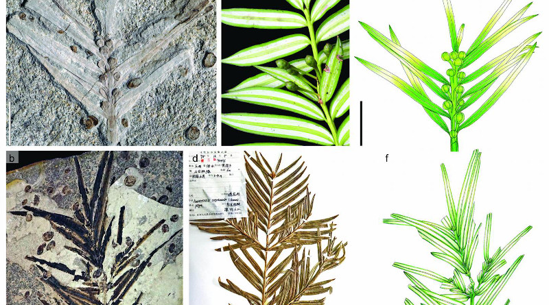 (a, b) cf. Amentotaxus from the Middle-Late Jurassic Daoguhou Bed in eastern Inner Mongolia, China. (c) Living A. yunnanensis. (d) Living A. argotaenia. (e) Reconstructive drawing of specimen in (a). (f) Line drawing of the two-order leafy shoot in (b). CREDIT: ©Science China Press