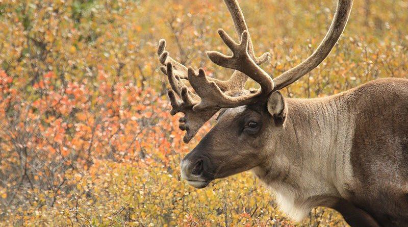 Caribou Antlers Alaska Wildlife