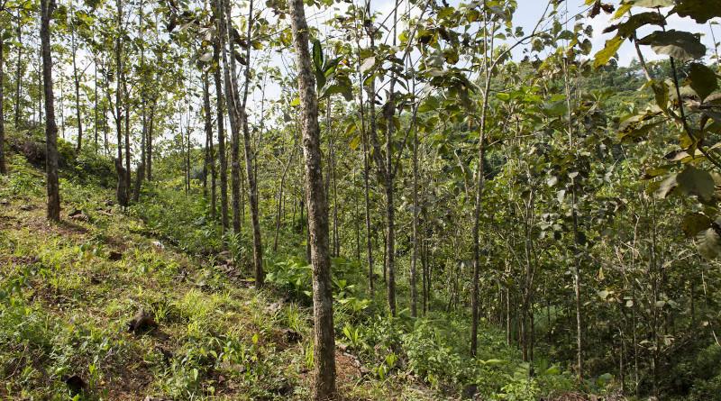 Teak (Tectona grandis) plantation at the Agua Salud Project. CREDIT: Jorge Alemán, STRI