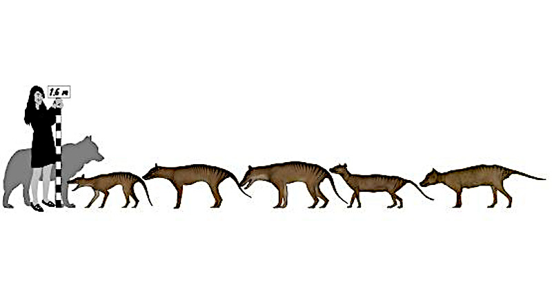 "The thylacine, that famous extinct Australian icon colloquially known as the Tasmanian Tiger, is revealed to have been only about half as big as once thought - not a ""big"" bad wolf after all. CREDIT: Douglass Rovinsky"