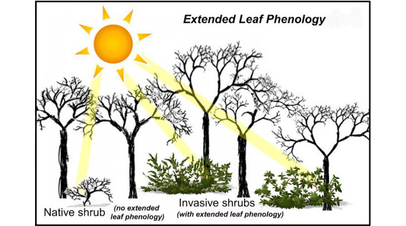 Extended leaf phenology becomes apparent at the ends of the growing season -- in early spring and late fall -- when most native woody species have lost their foliage CREDIT: Erynn Maynard-Bean, Penn State