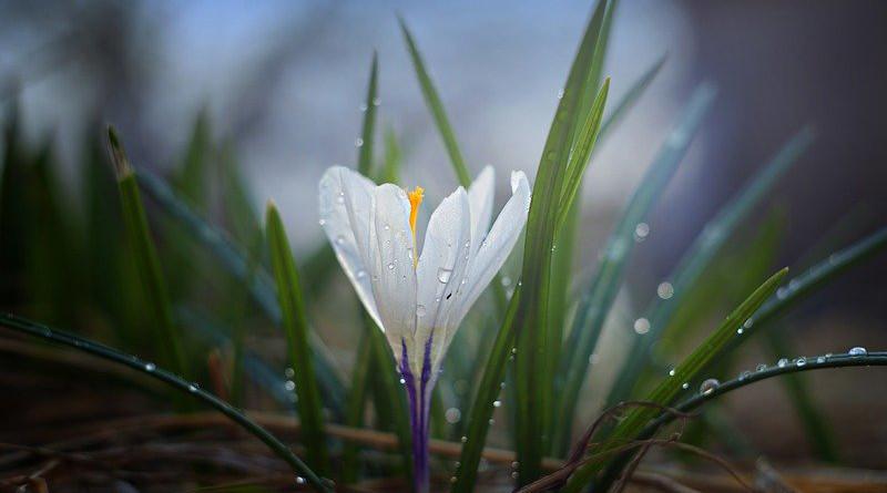 Nature Crocus Plant Outdoors Flower Leaves Garden
