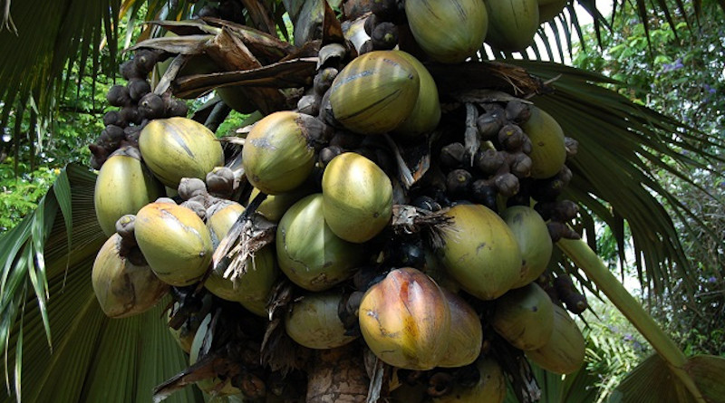 The coco de mer, otherwise known as Lodoicea, is the world's largest nut and endemic to Seychelles. (Gerard Larose, Seychelles Tourism Board)