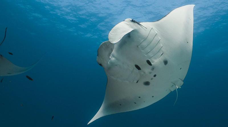 Reef manta ray, Mobula alfredi CREDIT: Amelia J. Armstrong and colleagues