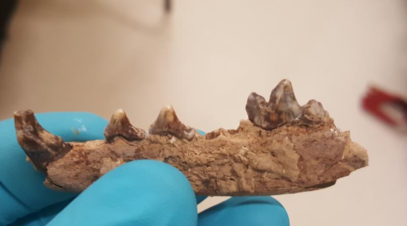 Arctic fox teeth CREDIT: Alex Pryor
