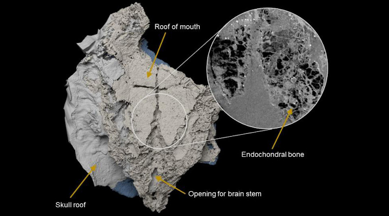 Virtual three-dimensional model of the braincase of Minjinia turgenensis generated from CT scan. Inset shows raw scan data showing the spongy endochondral bone inside. CREDIT: Imperial College London/Natural History Museum