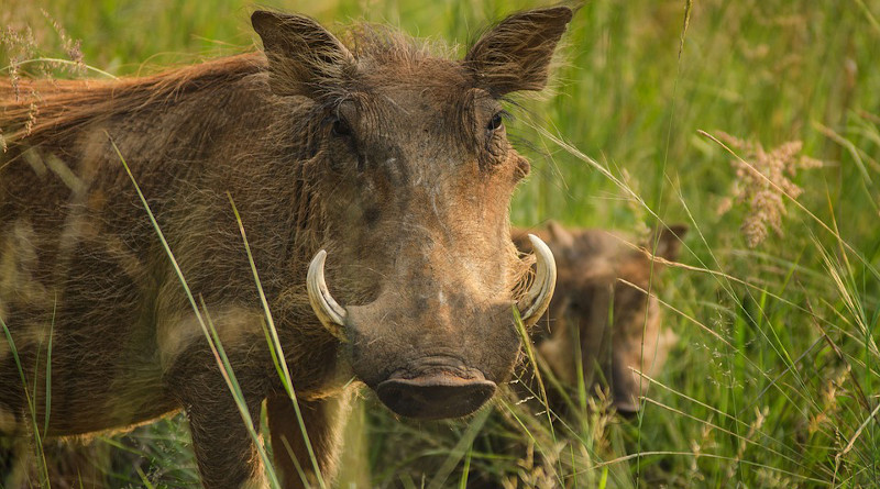 Warthog Tusks Ivory Warts Savanna Safari Pig