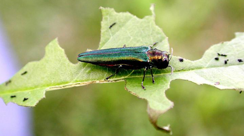 New research by an international team of scientists suggests that worldwide, invasion by non-native insects will increase 36 percent by 2050. Photograph shows an emerald ash borer, a non-native insect that has proven highly destructive in U.S. forests. CREDIT: Leah Bauer, USDA Forest Service