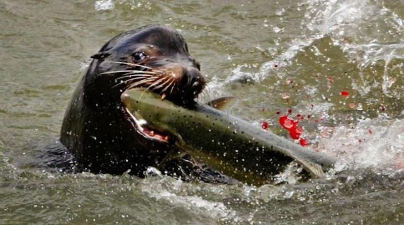 A sea lion devours a salmon. CREDIT: LE Baskow