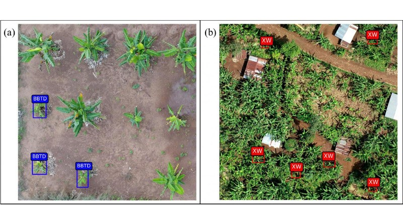 Drone images show banana plant diseases detected using UAV-RGB-based custom model. Banana bunchy top disease (BBTD) is shown in blue boxes; Xanthomonas Wilt of Banana (BXW) in red. CREDIT: Selvaraj et al.